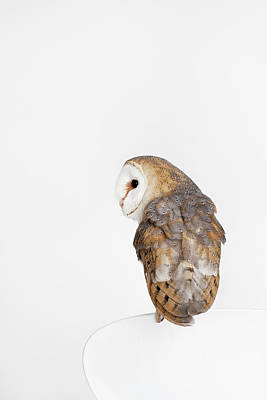 Photograph - Owl Meztly by Tails