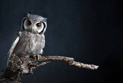 Branch Photograph - Owl Sitting On A Branch by Zena Holloway