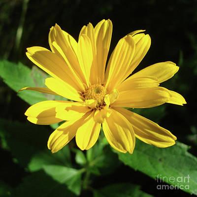 Photograph - Ox Eye Sunflower 1 by Amy E Fraser