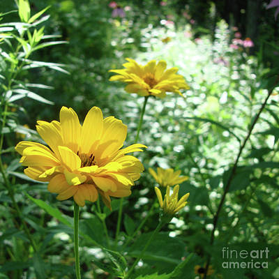 Photograph - Ox Eye Sunflower 10 by Amy E Fraser
