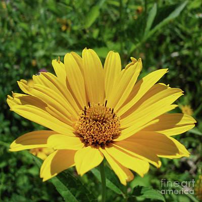 Photograph - Ox Eye Sunflower 11 by Amy E Fraser