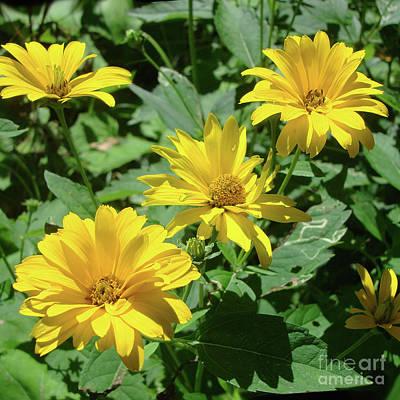 Photograph - Ox Eye Sunflower 12 by Amy E Fraser