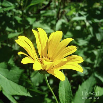 Photograph - Ox Eye Sunflower 13 by Amy E Fraser