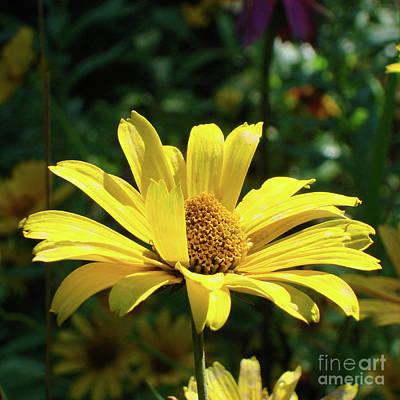 Photograph - Ox Eye Sunflower 15 by Amy E Fraser