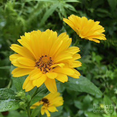 Photograph - Ox Eye Sunflower 16 by Amy E Fraser