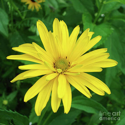 Photograph - Ox Eye Sunflower 17 by Amy E Fraser