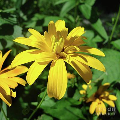 Photograph - Ox Eye Sunflower 18 by Amy E Fraser