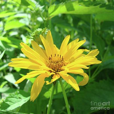 Photograph - Ox Eye Sunflower 19 by Amy E Fraser