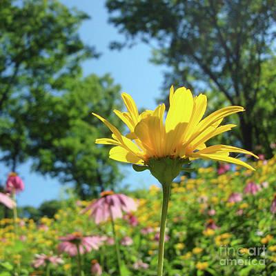 Photograph - Ox Eye Sunflower 2 by Amy E Fraser