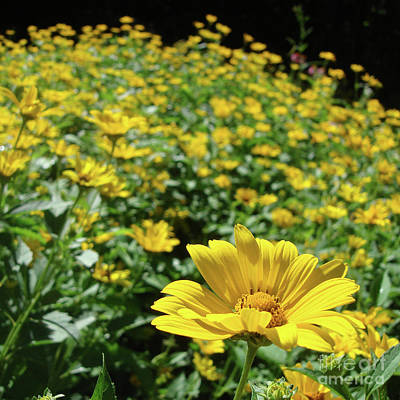 Photograph - Ox Eye Sunflower 20 by Amy E Fraser