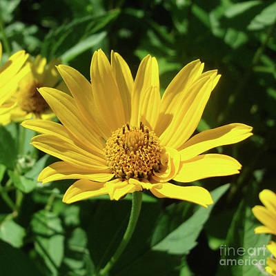 Photograph - Ox Eye Sunflower 21 by Amy E Fraser