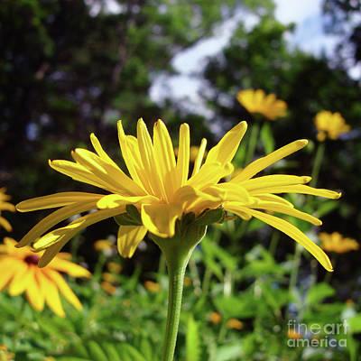 Photograph - Ox Eye Sunflower 22 by Amy E Fraser