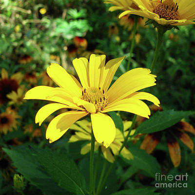 Photograph - Ox Eye Sunflower 3 by Amy E Fraser
