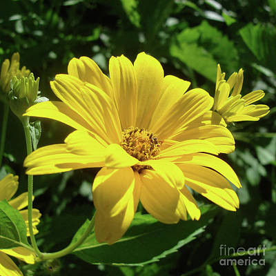 Photograph - Ox Eye Sunflower 5 by Amy E Fraser