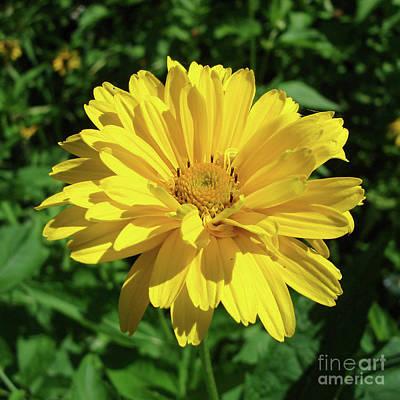 Photograph - Ox Eye Sunflower 7 by Amy E Fraser