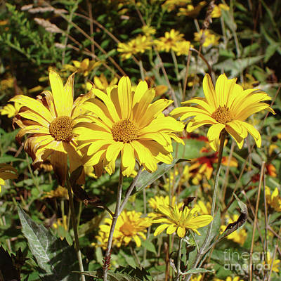 Photograph - Ox Eye Sunflower 8 by Amy E Fraser