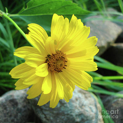 Photograph - Ox Eye Sunflower 9 by Amy E Fraser