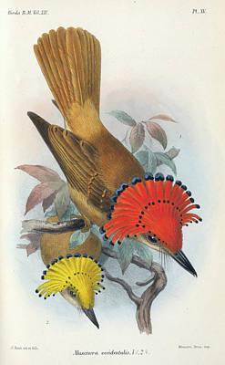 Flycatcher Wall Art - Painting - Pacific Royal Flycatcher by Richard Bowdler Sharpe