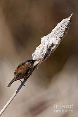 Photograph - Pacific Wren On Bulrush by Sue Harper