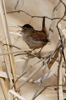 Photograph - Pacific Wren Song Bird by Sue Harper