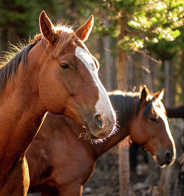 Photograph - Pack Horses 2 by Philip Rispin