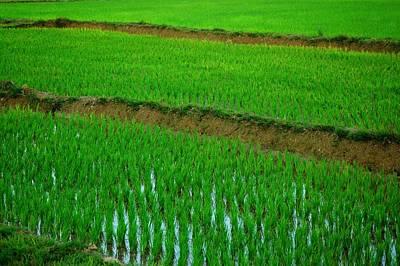 Karnataka Photograph - Paddy Field by Rafeek Manchayil