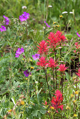 Photograph - Paintbrush And Gentian by Michael Chatt