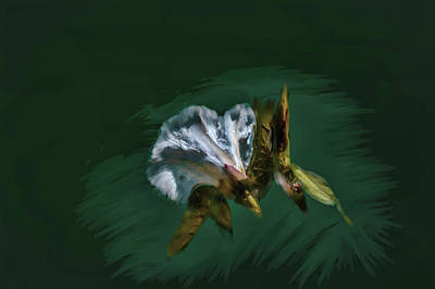 Photograph - Painted Bindweed #i2 by Leif Sohlman