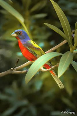 Ballerina Art - Painted Bunting Male by Phill Doherty