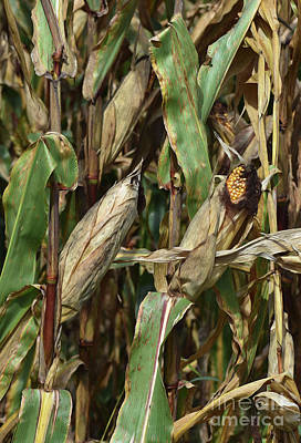 Photograph - Painted Corn Crop by Skip Willits