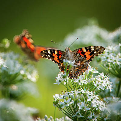 Photograph - Painted Ladies by Jeff Phillippi