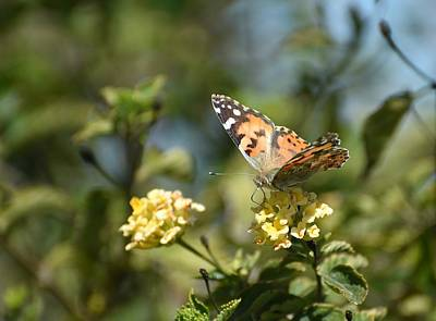 Photograph - Painted Lady 2 by Fraida Gutovich