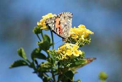 Photograph - Painted Lady 3 by Fraida Gutovich