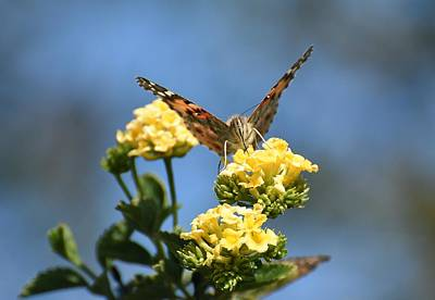 Photograph - Painted Lady 4 by Fraida Gutovich