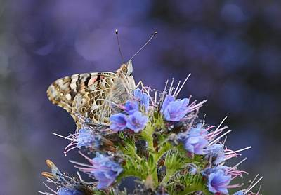 Photograph - Painted Lady 6 by Fraida Gutovich
