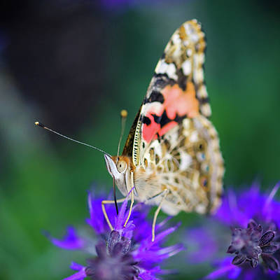 Photograph - Painted Lady Butterfly by Nicole Young
