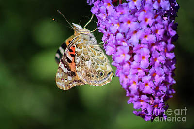 Photograph - Painted Lady Butterfly On Purple Buddleia by Karen Adams