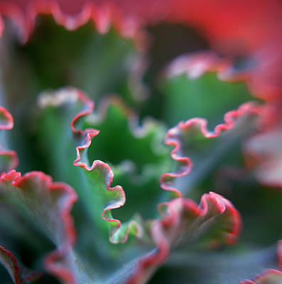 Photograph - Painted Lady Echeveria by Maryellen Baker