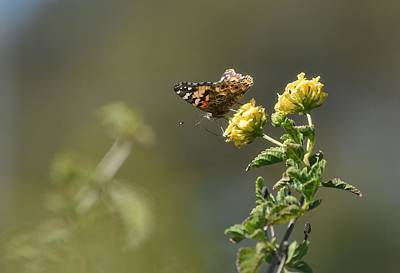 Photograph - Painted Lady by Fraida Gutovich