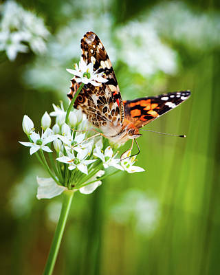 Photograph - Painted Lady II by Jeff Phillippi
