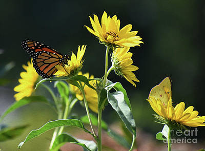 Photograph - Painted Monarch And Sulfur by Skip Willits