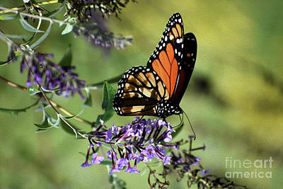 Photograph - Painted Monarch At Rest  by Skip Willits