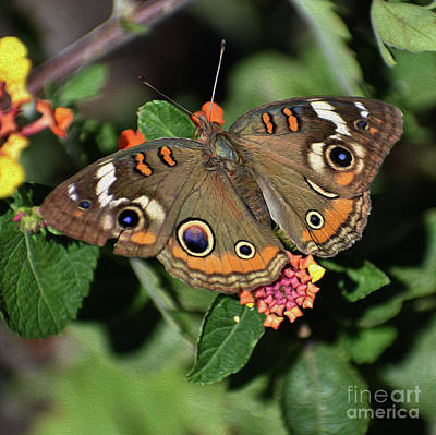 Photograph - Painted Buckeye Butterfly by Skip Willits
