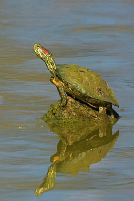 Painted Turtle Wall Art - Photograph - Painted Turtle Chrysemys Picta Perched by Glenn Bartley