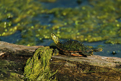 Photograph - Painted Turtle Sunning by Edward Peterson