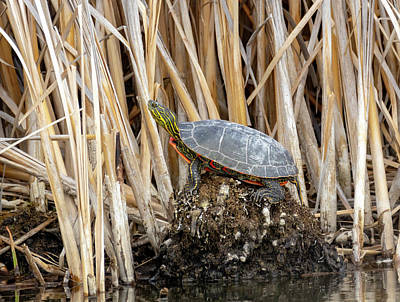 Catch Of The Day - Painted Turtles by Michael Chatt