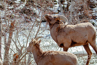 Photograph - Pair Of Bighorn Sheep by Steve Krull