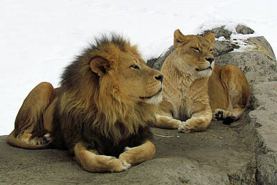 Photograph - Pair Of Lions by Images By Nancy Chow