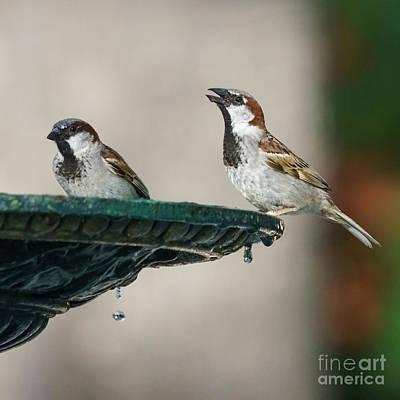 Stellar Interstellar - Pair of Male Spanish Sparrows Drinking from Iron Fountain by Pablo Avanzini