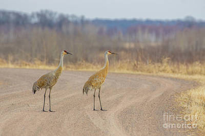 Modern Man Famous Athletes - Pair of Sandhill Cranes on Gravel Road by Bobby Griffiths